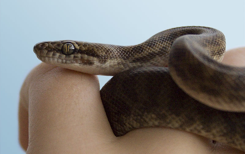 Adopt a Snake – RSPCA Wacol Seeks New Homes for Rescued Snakes